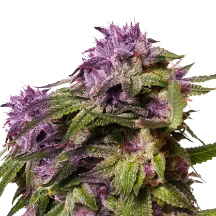 AMS Blueberry Muffin