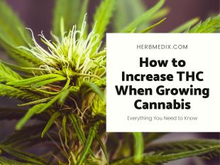 How to increase THC when growing cannabis