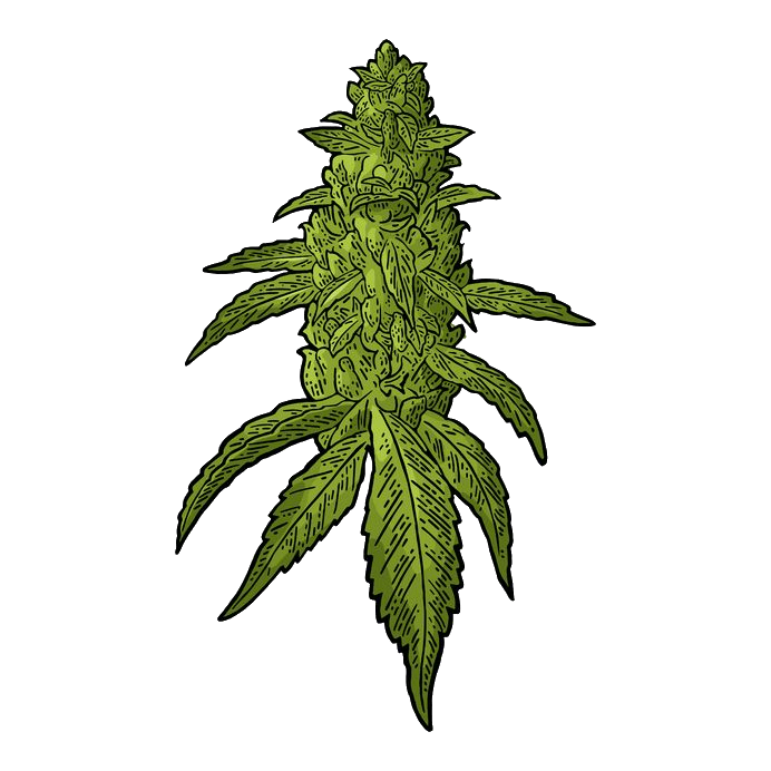 The Definitive Guide To Marijuana Seeds Types Strains