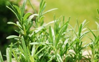 Rosemary from my herb garden by alice_henneman, on Flickr