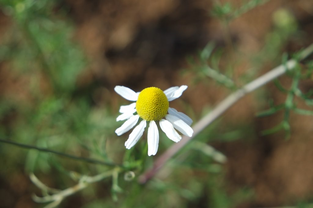 Camomille matricaire ⋆ Herboristerie Holistique