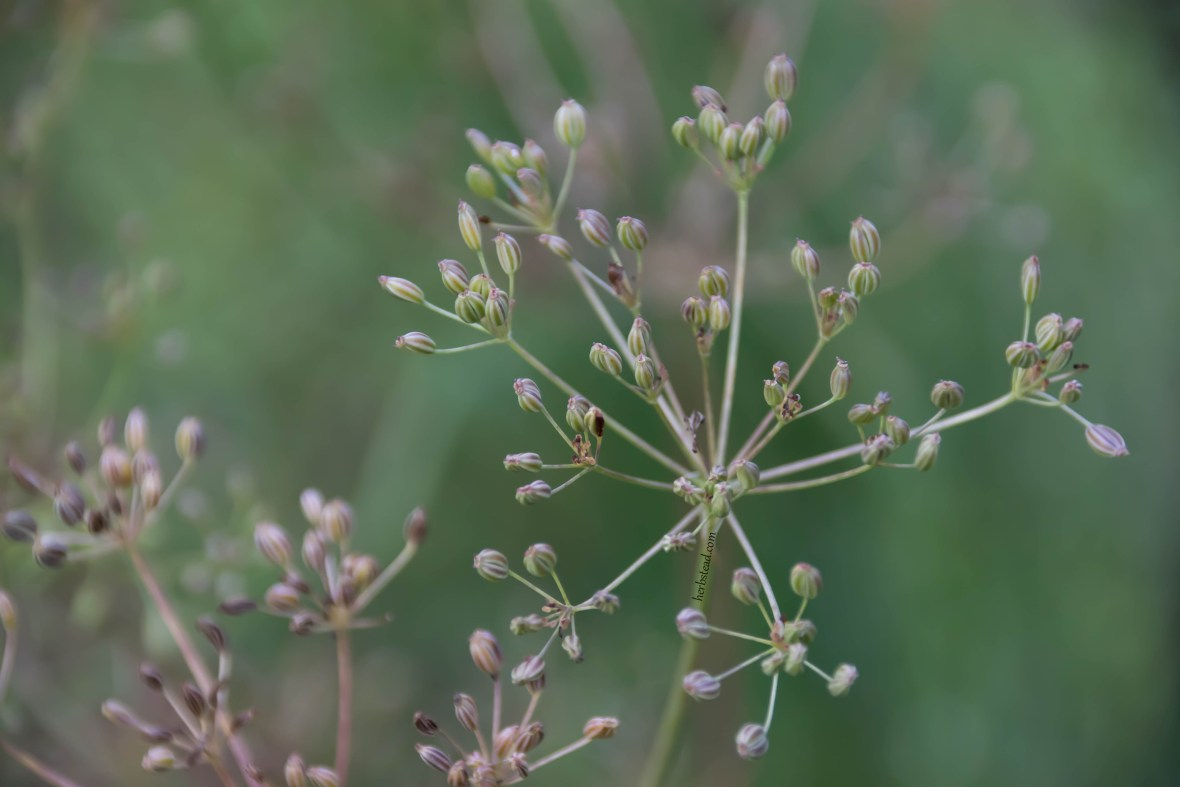Close up of caraway fruits (seeds)