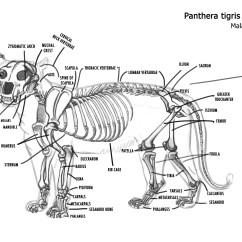 Beaver Skeleton Diagram Rain Bird Wiring Feline Skull Engine And