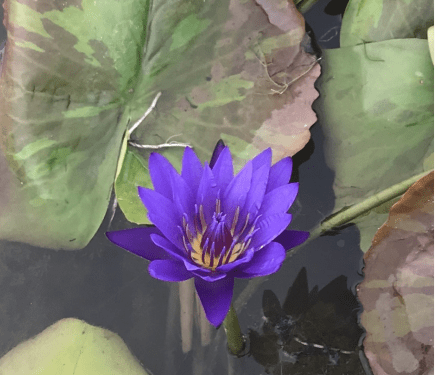 tropical water lily William McLane