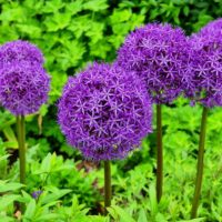 Having A Ball With Alliums (Ornamental Onions)