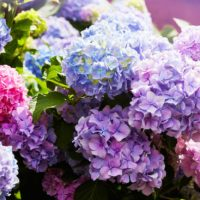 Pruning Hydrangeas: A Step-By-Step Guide For Old And New Wood