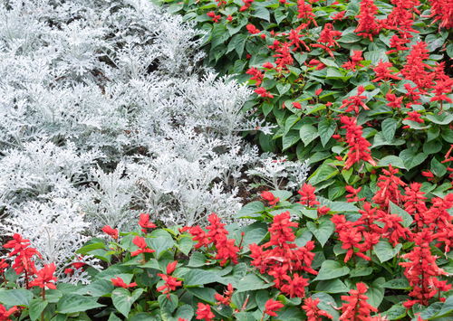 red salvia and silver ragwort