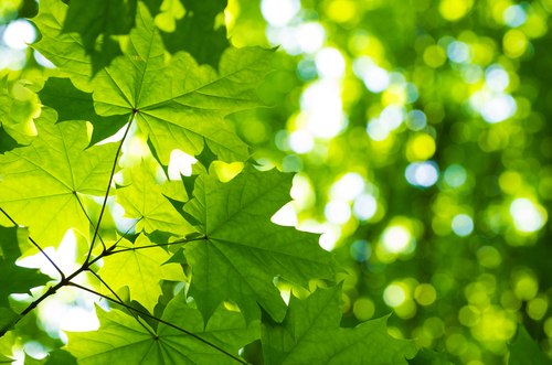 green leaves in sun