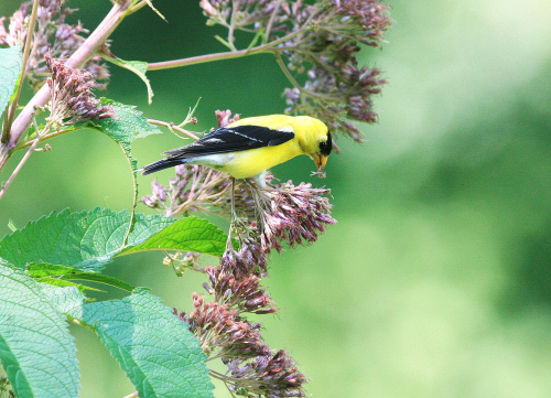 American goldfinch feasting on Joe Pye Weed