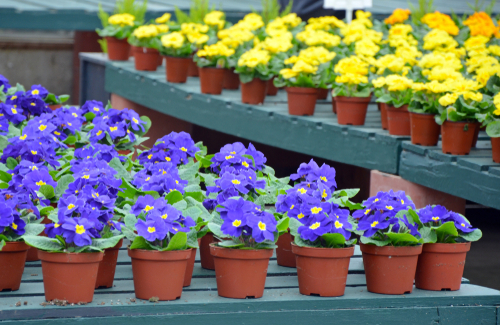 pansies for sale at the nursery
