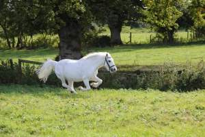 Welsh pony with Imprints