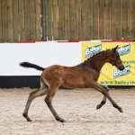 BRITISH BREEDING 2019 FUTURITY COMES TO BRIDGEND