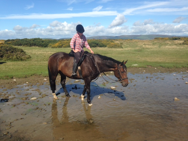 Safe Gorgeous Horse For Loan 16hh Over Show Ad Hereford