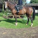 Exceptionally good looking 17hh T,B, gelding