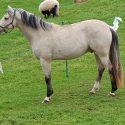 Lovely homebred 2yr old buckskin colt