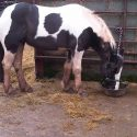 13.2/13.3hh Stunning skewbald cob mare
