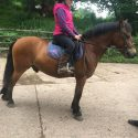 12hh Bay gelding for sale