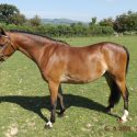 Welsh Section B 3yr Gelding