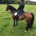 13.2hh  13 year old bay mare for loan