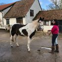 15.1 coloured gelding