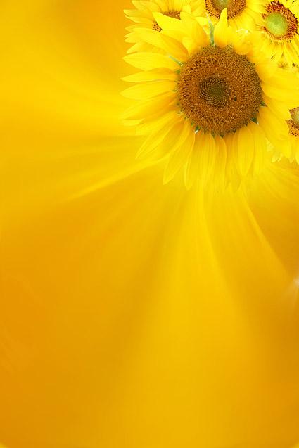 300 dpi Bildgre 2911 x 4367 Hintergrund Sonnenblumen Blumen gelb exquisite Bilder