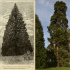 Sequoia Gigantea at Wrest Park