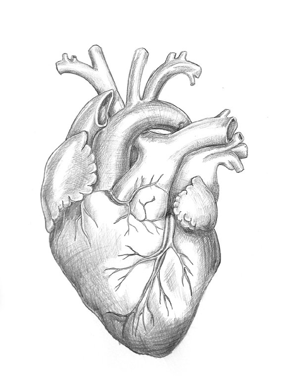 anatomical-drawing-heart-5 • Heritage Direct Primary Care
