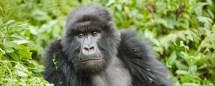 Gorilla Trekking Rwanda - Heritage Safaris