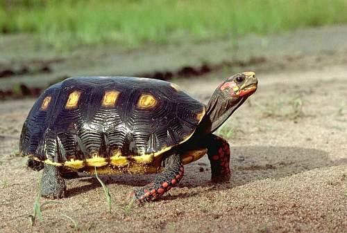 (陸龜)櫻桃紅腿 紅腿象龜傻傻分不清ˇˇ | Yahoo奇摩知識+