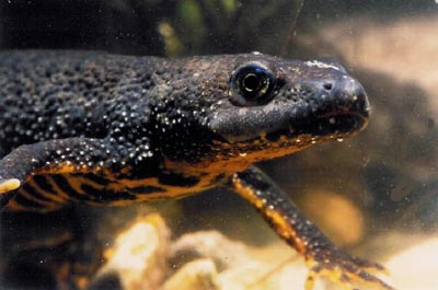 Image result for british newts