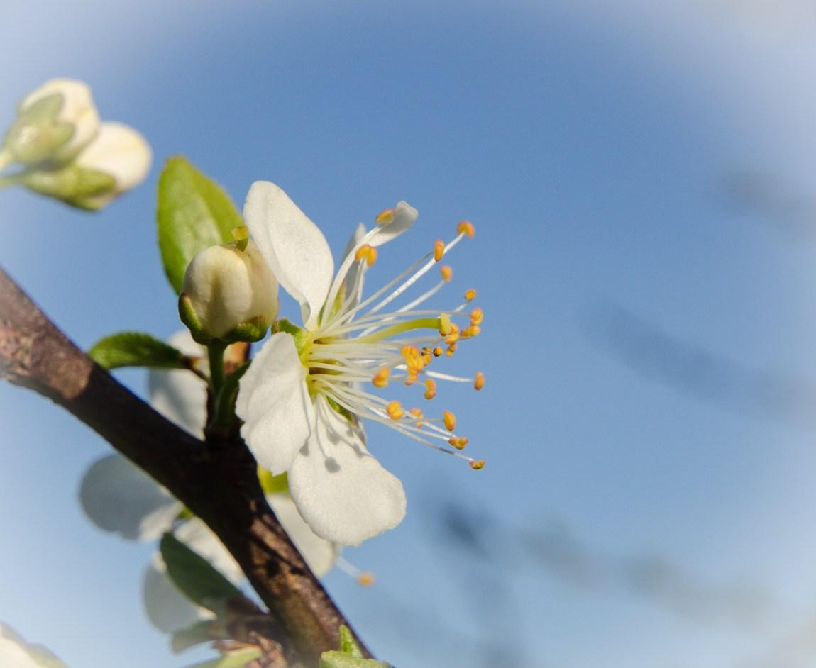 Blossom of a plum tree