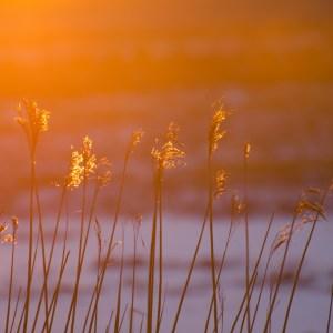 Winter light on marsh grass
