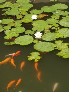 Koi Carp In A Pond