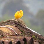 Kanarie vogel
