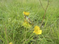 A colourful grasshopper in the grass on the hill