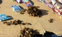 Bees finding nourishment at the street vendor stalls – Port Shepstone Regional Hospital