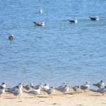Seagulls on Mtwalume River lagoon