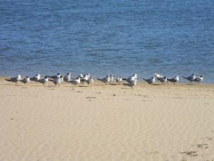 Seagulls - chicks wondering where the parental unit has gone