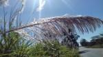 Sugar cane plumes-7