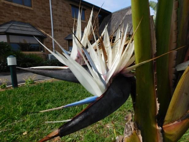 Natal wild banana (strelitzia nicolai)