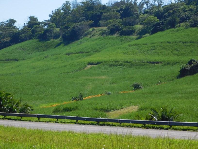 Sugarcane fields on the hills of KwaZulu-Natal