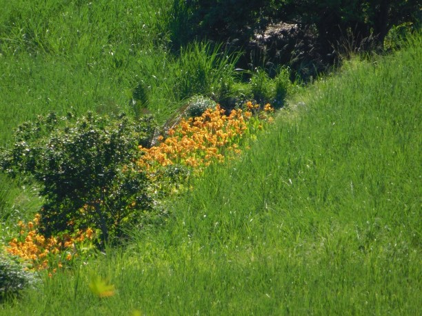 Cannas growing in the sugarcane fields