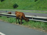 Nguni cattle grazing next to the N2 freeway KwaZulu-Natal Southcoast