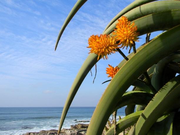 Aloe close up of orange flowers