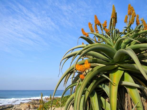 Aloe growing high on the rocky dunes