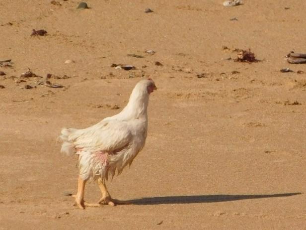 Wet chicken on the beach