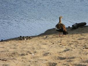 Kolgans-mamma met haar kleintjies op die rivierwal