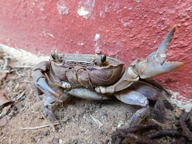 Land crab in the garden