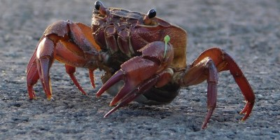Land crab in the road