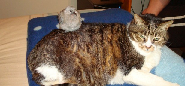 Moggy with a baby dove sitting on her back